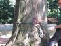 Workshop Treeclimbing e Sicurezza III - Abbattimenti - 2009 workshop-mark-bridge-09-007.jpg
