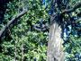 Tree Climbing Avanzato 02032010200.jpg