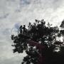 POTATURA DEGLI ALBERI ORNAMENTALI corso-potatura-alberi-12.jpg