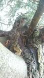 POTATURA DEGLI ALBERI ORNAMENTALI potatura-alberi-ornamentali-015.jpg