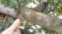 POTATURA DEGLI ALBERI ORNAMENTALI potatura-alberi-ornamentali-018.JPG