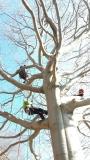 CORSO DI TREE CLIMBING - Operatori addetti ai sistemi di accesso e posizionamento mediante funi per lavori su alberi 12671734_1154397847938337_5200245300108028333_o.jpg