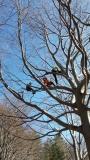 CORSO DI TREE CLIMBING - Operatori addetti ai sistemi di accesso e posizionamento mediante funi per lavori su alberi 12828534_1154398714604917_326309115844227063_o.jpg