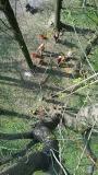 CORSO DI TREE CLIMBING - Operatori addetti ai sistemi di accesso e posizionamento mediante funi per lavori su alberi 12932712_1167602649951190_722768224751170454_n.jpg
