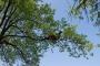 CORSO DI TREE CLIMBING - Operatori addetti ai sistemi di accesso e posizionamento mediante funi per lavori su alberi movimentazione16x10.jpg